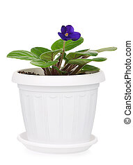 Saintpaulia violet