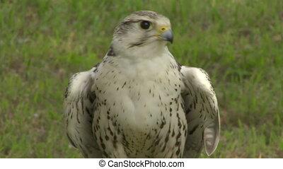 saker falcon close up 02