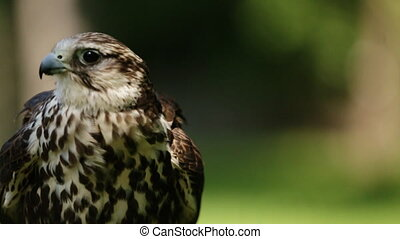 Saker falcon. Falco cherrug. Bird of prey close-up outdoors,...