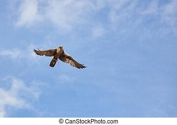 Saker Falcon (Falco cherrug) in flight