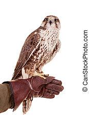 Saker Falcon isolated on white - Saker Falcon - Falco ...