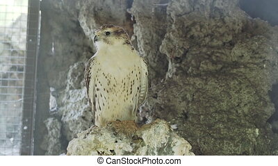 Saker falcon or Falco cherrug. Big bird is staring in camera.