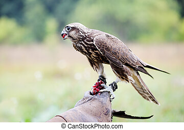 Saker Falcon sits on a glove