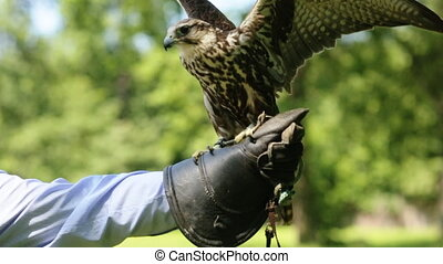 Saker Falcon sitting on a glove - Profile view, close up