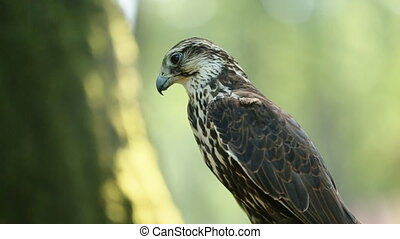 Saker falcon sitting on the branch in the forest, side view