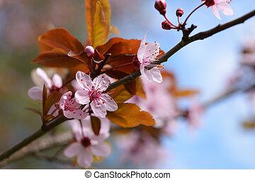 sakura, 花, クローズアップ