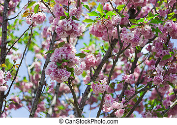 sakura, 花, 木, 日本語, 自然