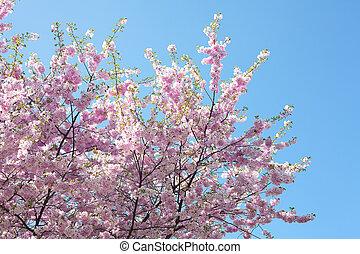 sakura against the blue sky