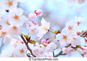 albero sakura rosa albero nero sakura fiori trunk