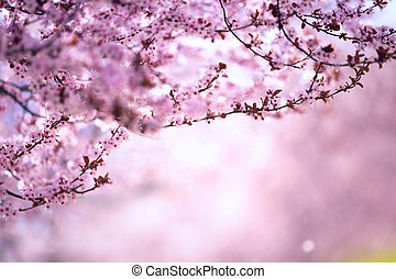 sakura, amêndoa, sky., bonito, damasco, árvores, sakura, cena, natureza, flores, sol, florescer, flare., primavera, contra, árvore, flor azul, roxo, cereja, cor-de-rosa