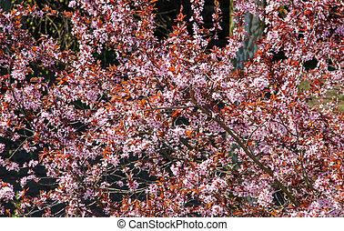 sakura, arbre, blossom., printemps, floral, fond