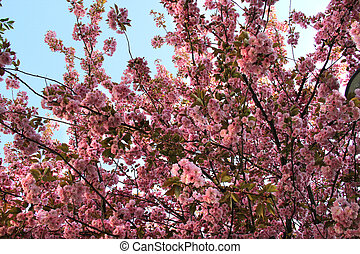 sakura, arbres, beau, fleur