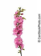 sakura, bloemen