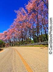 sakura blooming in winter, North of Thailand