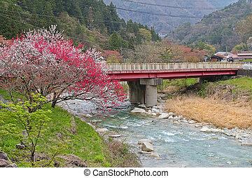 Sakura blossom near the bridge above Araragigawa river in Tsumago - juku, Japan
