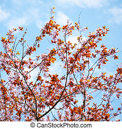 Sakura blossom on blue sky background