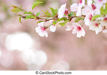 Sakura branch blooming in spring with blurred background