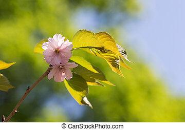 Sakura branch in the foreground