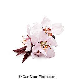 sakura - branch of cherries flowers on a white background