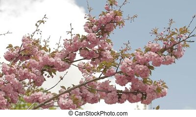 Sakura branch on wind against blue-