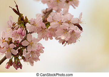 Sakura branch with pink flowers on blurred background