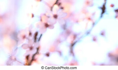 Sakura. Branches of cherry blossoms