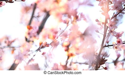Sakura. Branches of cherry blossoms