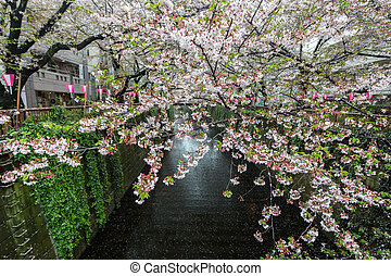 Sakura. Cherry blossom at Meguro Canal.