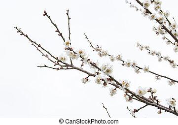 Sakura, Cherry blossom flower with blue sky background in Tokyo, Japan.