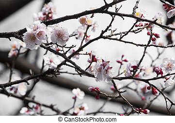 Sakura, Cherry blossom flower with soft focus in Tokyo, Japan.