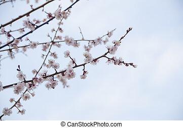Sakura, Cherry blossom flower with white background in Tokyo, Japan.