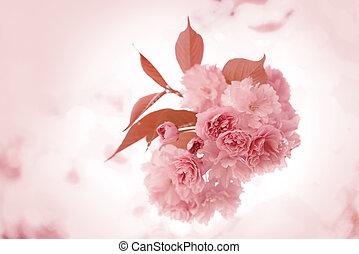 Sakura. - Cherry Blossom in Springtime, beautiful Pink...