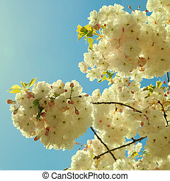 Sakura cherry flower blossom against blue sky in spring