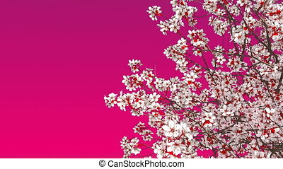 Sakura cherry tree blossom on pink background 4K - Close-up...