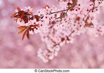 Sakura cherry tree blossoms in early spring season