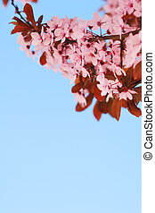Sakura cherry tree branch with blossoms and blue sky background