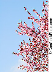 Sakura cherry tree with blossoms and blue sky background