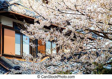 sakura, estação, em, japão