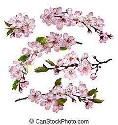 sakura, fiori, fondo