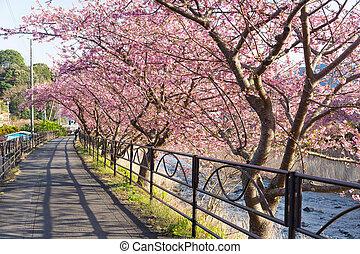 sakura, flor, árvore