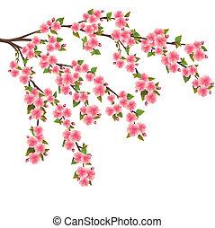 sakura, flor, -, japonés, cerezo, encima, blanco