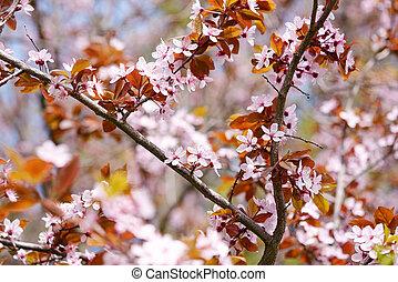 sakura, flores, en, primavera