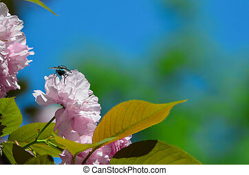 Sakura flower and a fly
