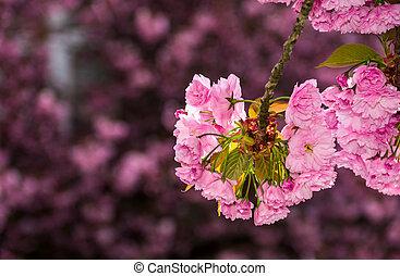 Sakura flower blossom in garden at springtime - beautiful...