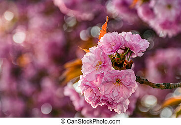 Sakura flower blossom in garden at springtime - beautiful...