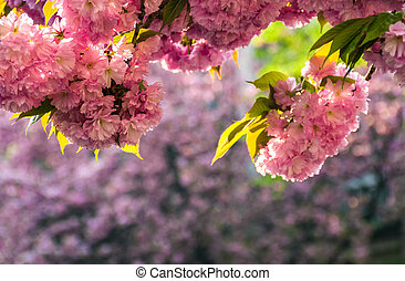 Sakura flower blossom in springtime - Beautiful springtime...