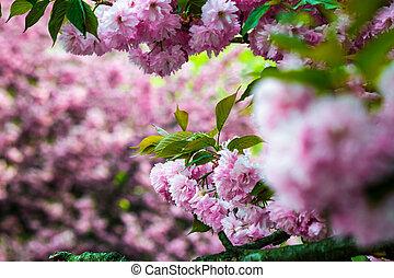 Sakura flower blossom in springtime - delicate pink flowers...