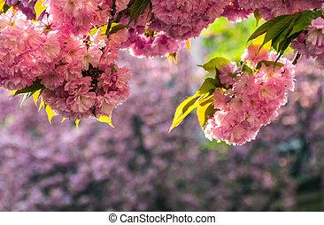 Sakura flower blossom in springtime - Beautiful springtime...