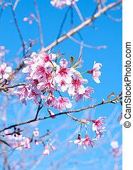 Sakura  flower blossom .