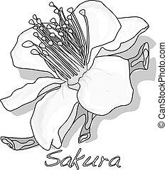 Sakura flower cherry blossom isolated.